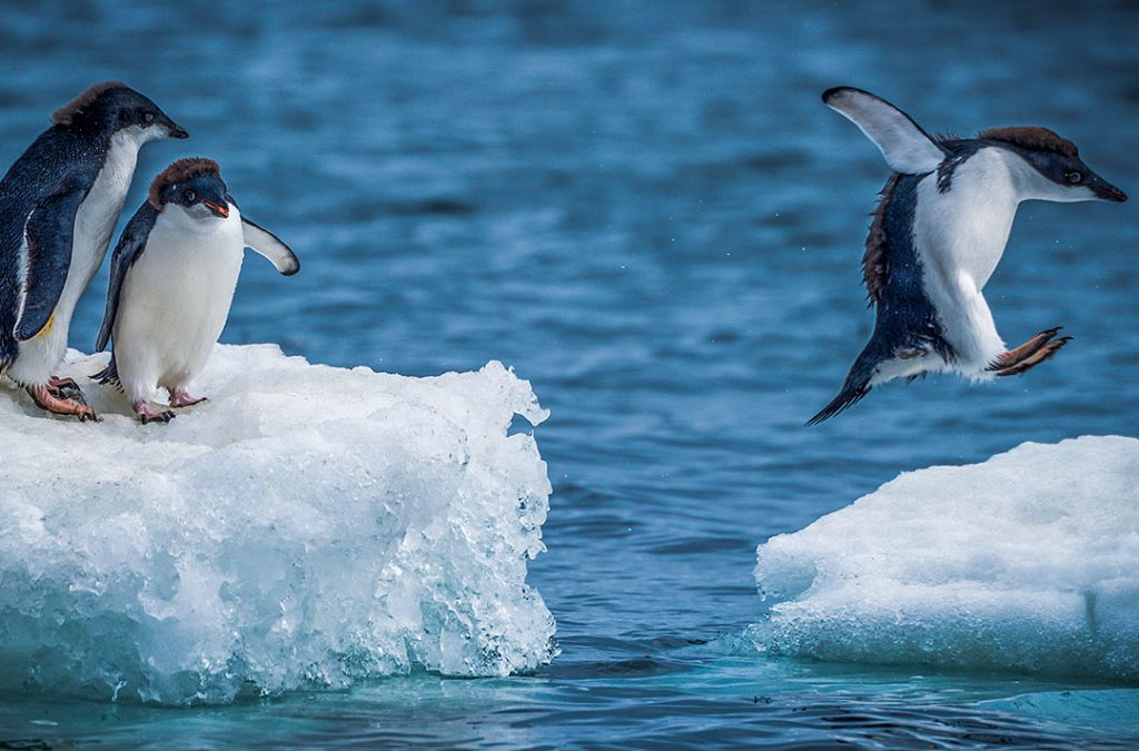 Adelie penguins jumping between two ice floes marketing concept
